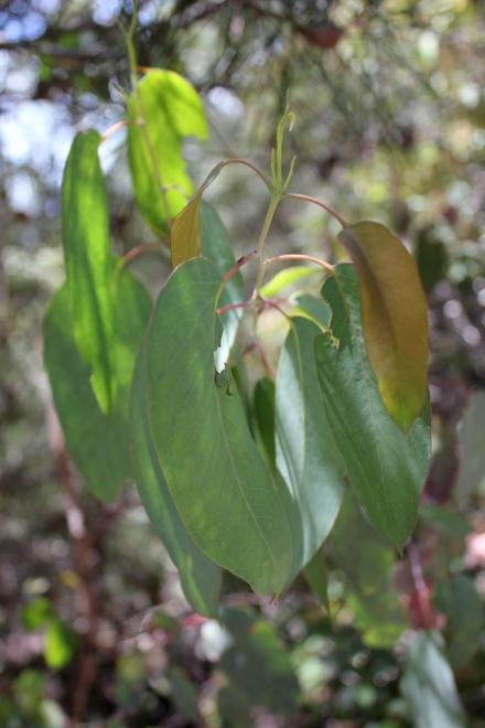 Eucaplyptus