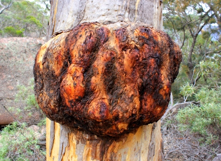 Burl - Freycinet National Park