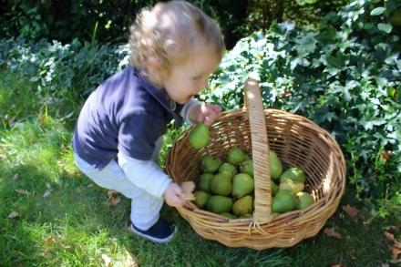 Harvesting Pears - 10