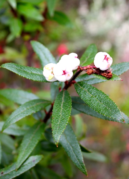 Tasmanian Snowberry
