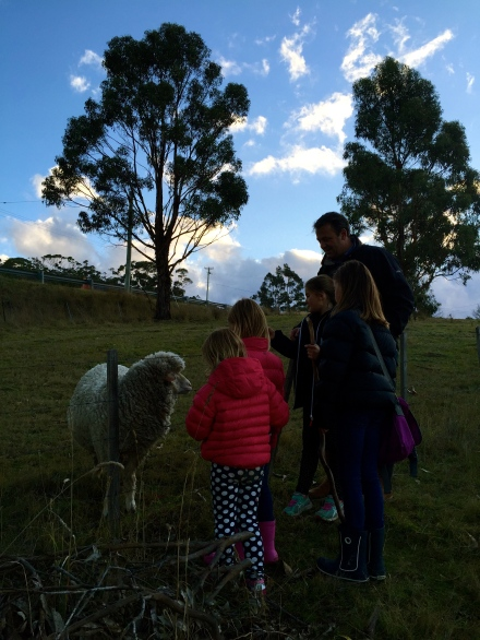 Patting the sheep on Bruny Island