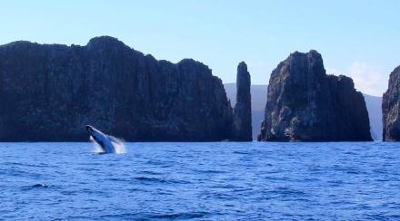 Humbpack Whale Breaching